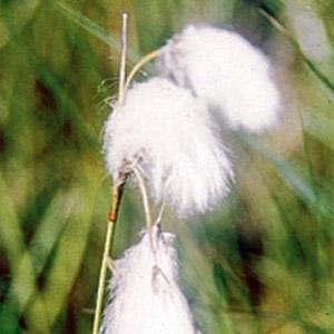 Sarek-Flora. Wollgras