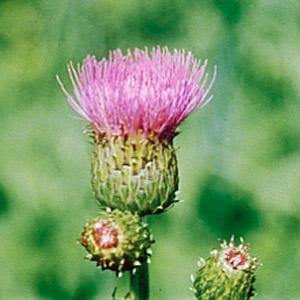 Sarek-Flora. Zweifarbige Kratzdistel.