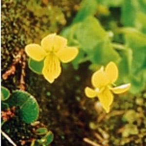 Sarek Flora. Zweiblättriges Veilchen.