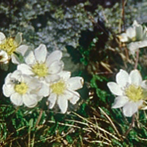 Sarek Flora. Silberwurz.